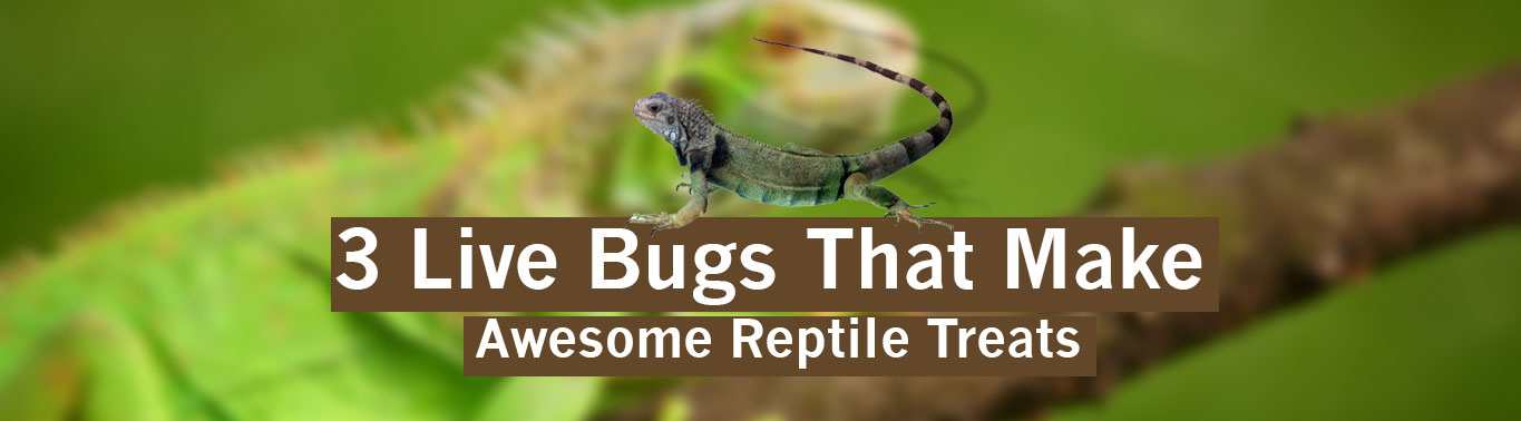 3-live-bugs-that-make-awesome-reptile-treats