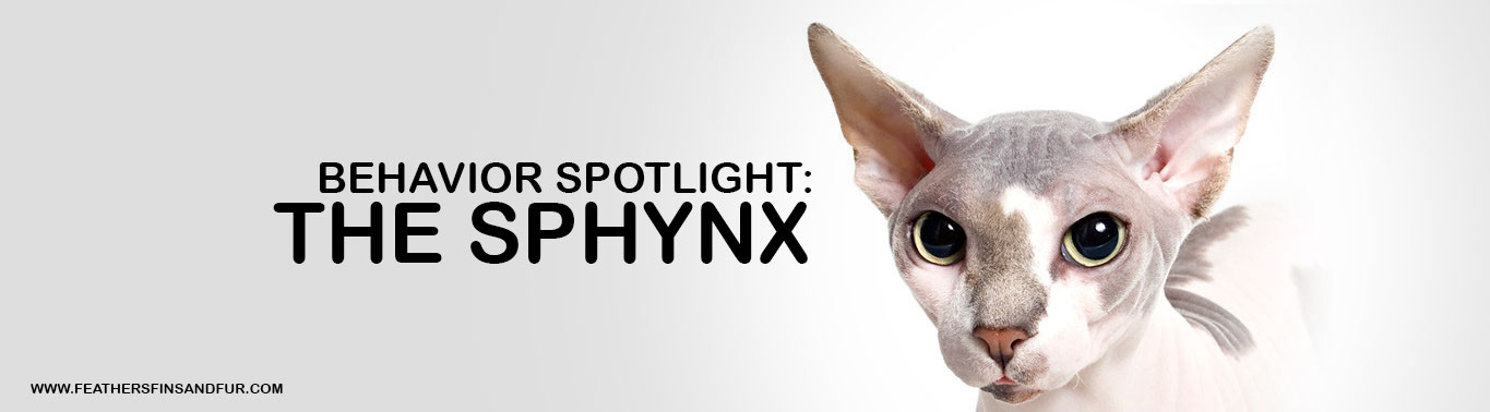 behavior-spotlight-the-sphynx